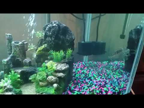 Gourami Mollies Platies Glofish Tiger Barbs Pictus Catfish Plecostomus Sucker Fish Comunity Tank