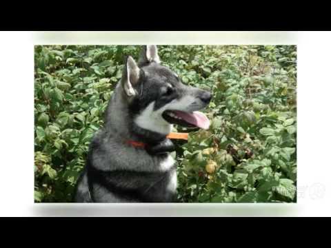 Swedish Elkhound Dog breed