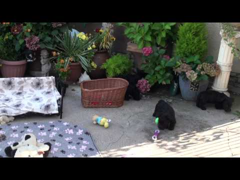 Little Rascals Uk breeders New litter of scottie boys and girls