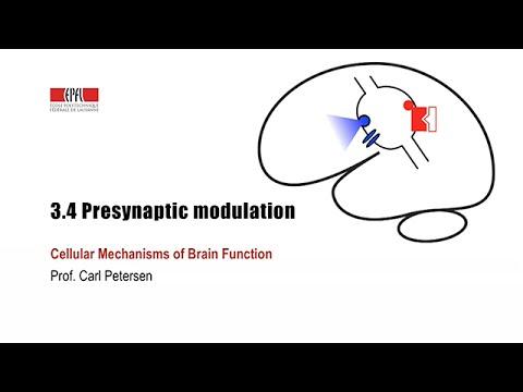 3.4 Presynaptic modulation