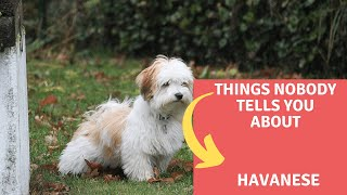 Dogs: Havanese Dog Breed Information And Personality
