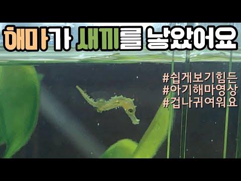 *나름 희귀영상* 해마가 새끼를 낳았어요 | Baby Sea Horse | ( 언더워터티비 )