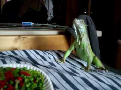 Sampson The Iguana is friendly