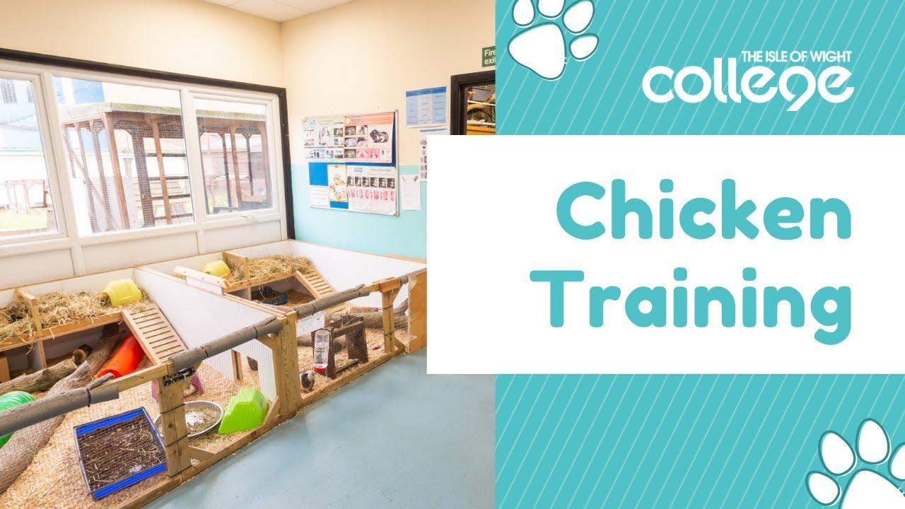 Animal Management - Chicken Training