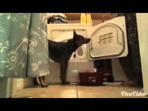 Dog Tricks By Blue The Australian Cattle Dog!