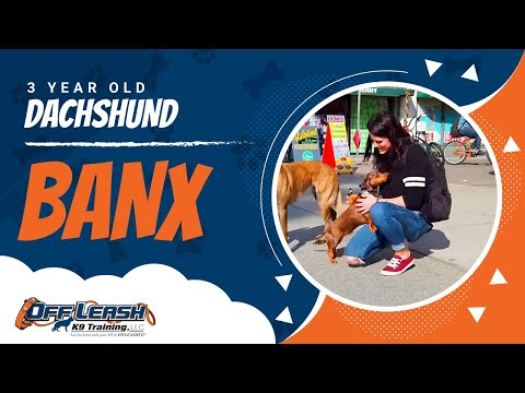 """Reactive 3-Year Old Dachshund, """"Banx"""" 