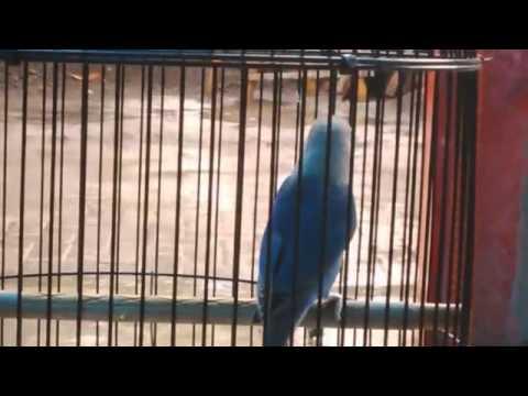 Memancing suara lovebird by : ARI DMK