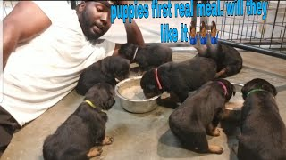 Puppies first time eating real food.  How will they enjoy it? 8436703346