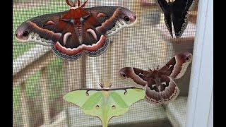 Giant Moths!!!