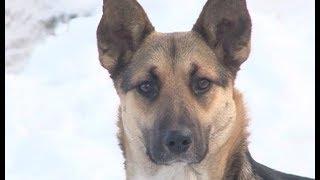 Бродячие собаки атакуют жителей Златоуста