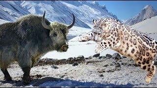 Snow leopard vs yak & bull vs yak rare footage full fight live shoo...