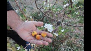 Elma ağacı, kasım ayında çiçek açtı
