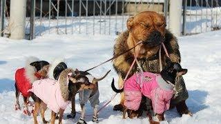 Собаки породы Ка де бо!