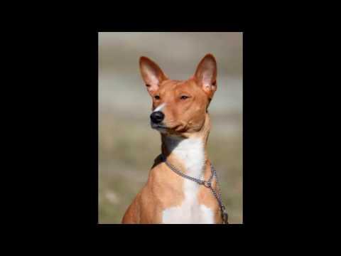 Basenji Puppy Dog