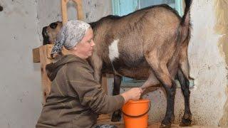 Подсобное хозяйство Руськиных. Доение коз