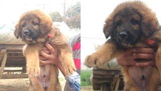 Gaddi puppies for sale