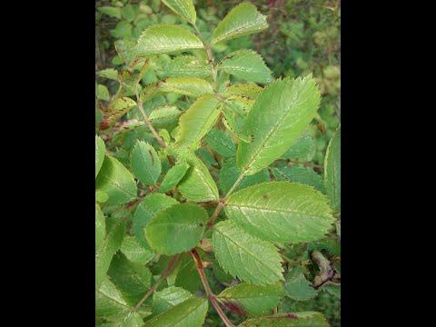 Пятна на листьях розы-болезнь или вредитель?Розанная цикадка на розе.