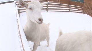 Сделано в Красноярске: крестьянское хозяйство «Коза-дереза»