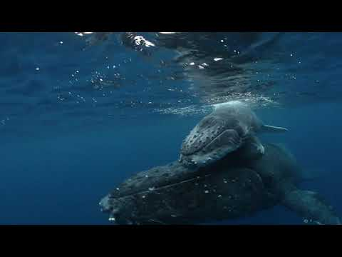 SWIMMING WITH GENTLE GIANTS Trailer - Ocean Film Festival World Tour 2020 Australia