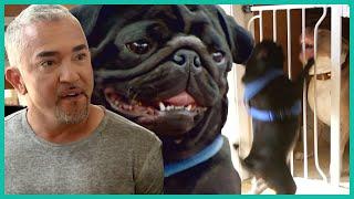 Angry Pug Won't Stop BITING | Cesar 911