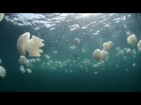 Socotra cormorants & Jellyfish - kingdom Of Bahrain