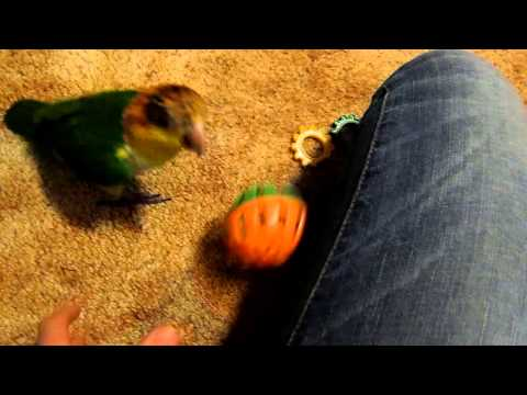 Caique Playtime