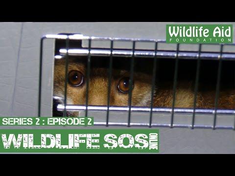 Wildlife SOS Online S2  Episode 2: The Waxed Hedgehog