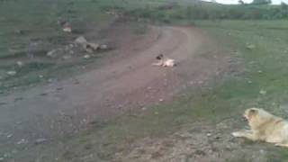 A wolf fucked up by Georgian dogs