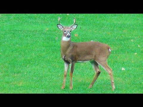Small Dog Barking at Big Deer