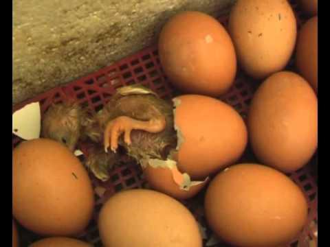 Цыплята - рождение, первые шаги.