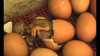 Цыплята - рождение, первые шаги