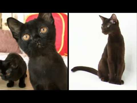 Cats 101 Animal Planet  Bombay ** High Quality **