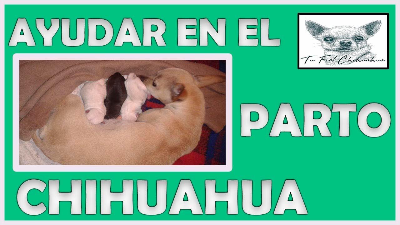 Cómo Ayudar A Mi Perrita Chihuahua En El Parto
