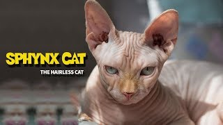 SPHYNX CAT | HAIRLESS CAT BREED | ANIMAL BEAST