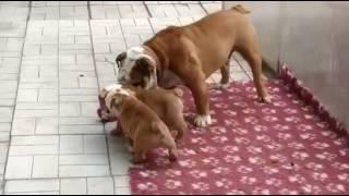 Тамила и Тибо-4 PR company BuldogFIL купить щенка английского бульдога