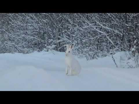 Заяц бегущий по дороге