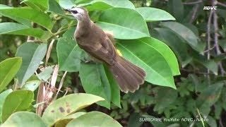 Khoảnh Khắc Chim Hoành Hoạch (Chim Trao Trảo) Tìm Mồi Ngoài Thiên Nhiên Thật Dễ Thương