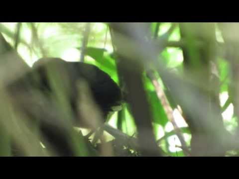 Blackish Tapaculo, Scytalopus latrans, Birding Bogota, Colombia Wildlife expeditions