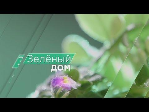 Зелёный дом: выращиваем кактус (эхинопсис)