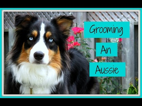 Grooming an Australian Shepherd (Step-by-Step Process)| Life With Aspen|