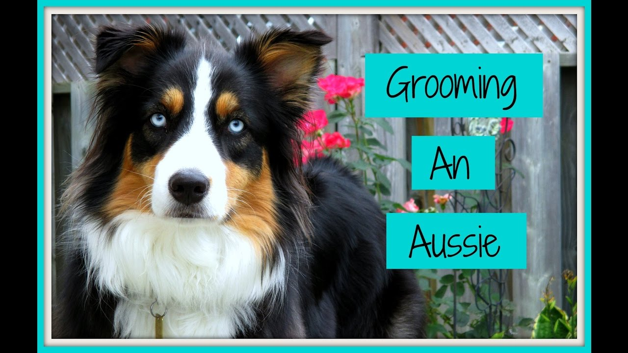 Grooming an Australian Shepherd (Step-by-Step Process) Life With Aspen