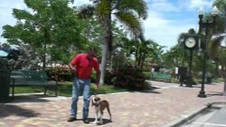 Boxer Puppy Training Videos| Sourthwest K9 Academy