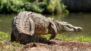 An American Crocodile Lays Her Eggs!