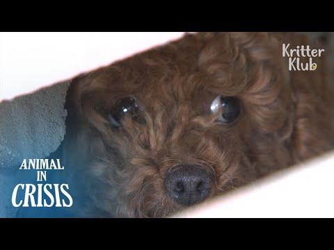 Abandoned Poodle Was Imprisoned On An Isolated Rooftop For Two Months | Animal in Crisis EP96