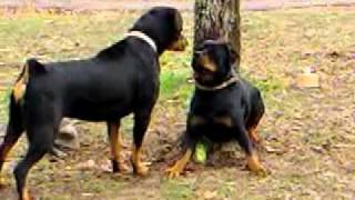 Rottweiler Females Playing