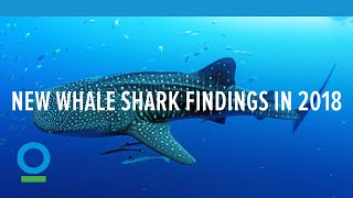 Conservation International | 4 New Whale Shark Findings in 2018