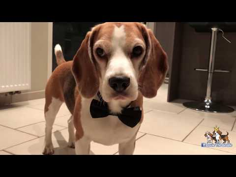 NINJA BEAGLE!!! This dog got skills!!