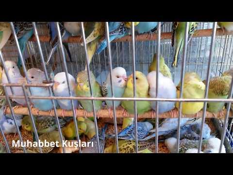 En güzel kafes kuşu türleri