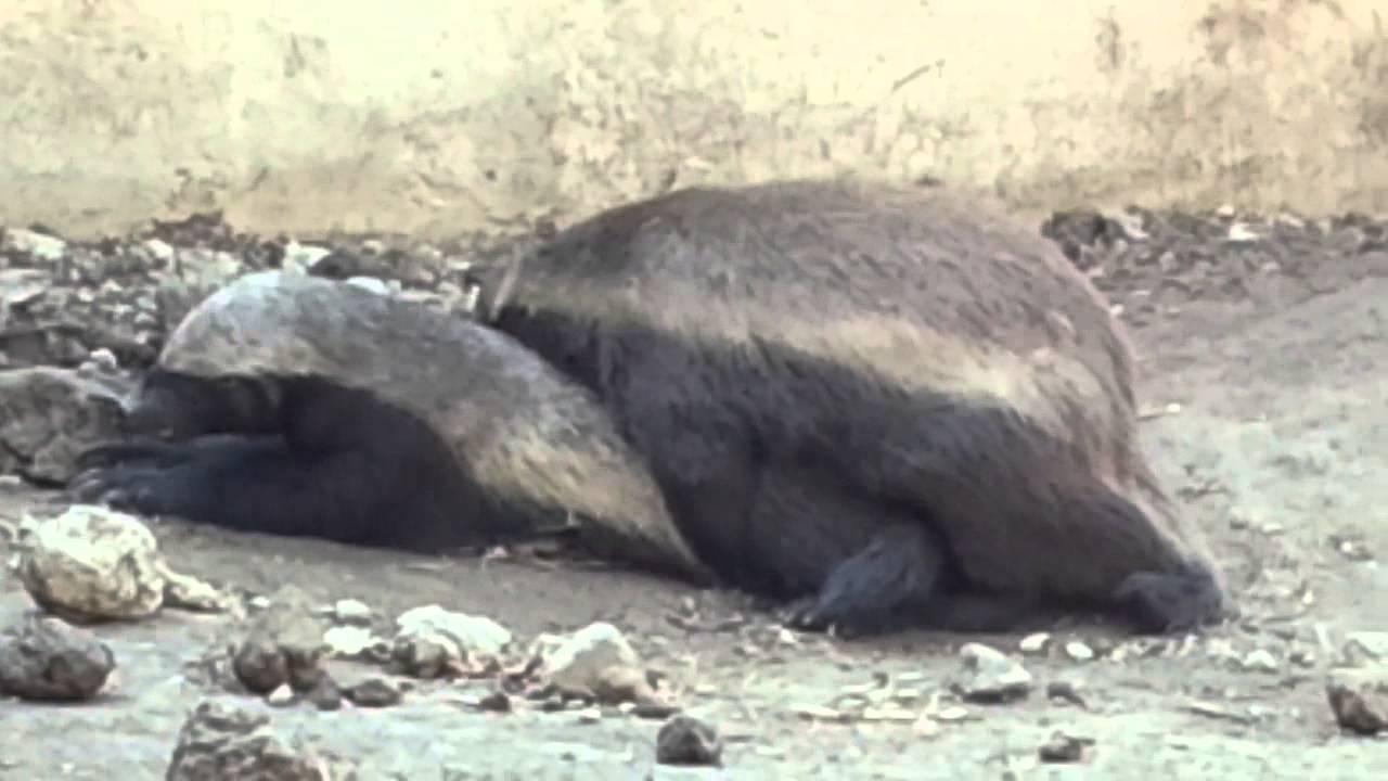 Honey badger making love - YouTube