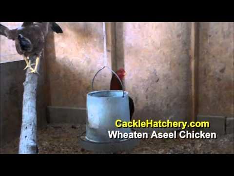 Wheaten Aseel Chicken Breed (Breeder Flock)